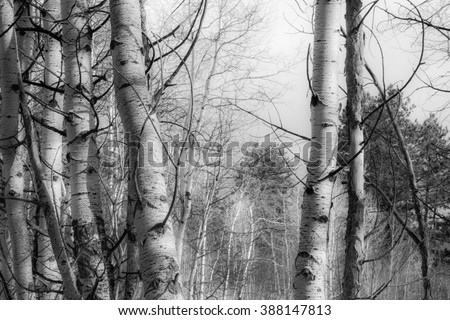 horizontal orientation black and white image of a grove of Aspen trees in the Rocky Mountains in Winter Season /  High Altitude Serenity in black and white - stock photo