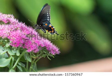 horizontal orientation close up of a butterfly perched on pink flowers with blurred green background and copy space / Identifying Butterflies - stock photo