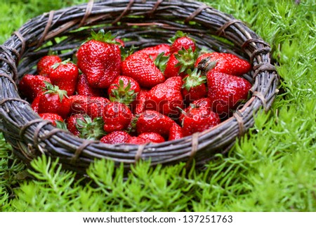 horizontal orientation close up of a dark woven basket with brightly colored fresh strawberries surrounded by green plants / Summer Strawberry Harvest - stock photo