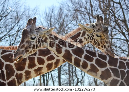 "horizontal orientation close up of two giraffes with their necks crossed into an ""X"" outside on a sunny day with copy space / Neck and Neck - stock photo"