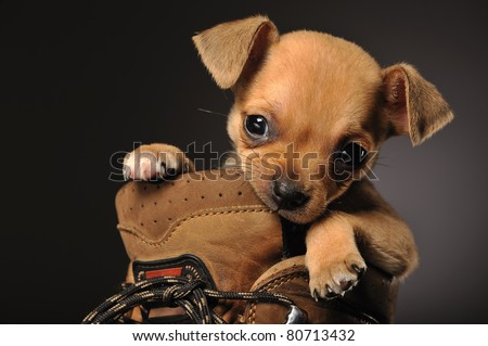 Horizontal portrait of a chihuahua puppy in a walking boot chewing on the boot side - stock photo