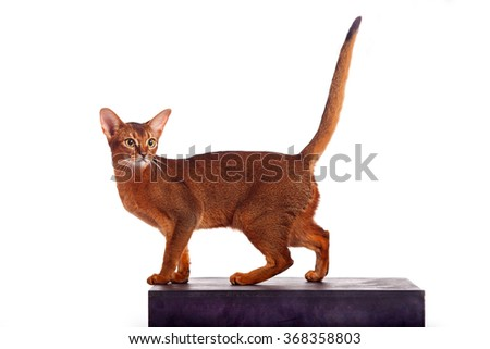 Horizontal portrait of one domestic cat of Abyssinian breed with yellow eyes and red short hair walking on isolated background - stock photo