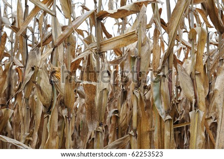 horizontal row of corn stalks after harvest with one ear exposed - stock photo