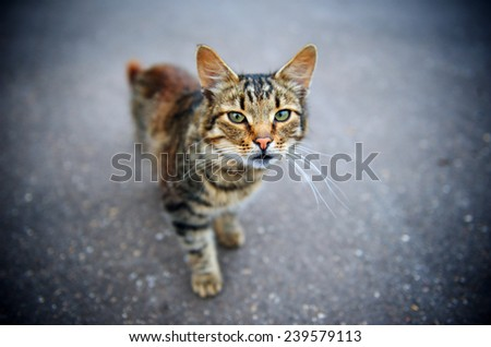 Horizontal shallow depth of field portrait of a cat standing on the concrete road and looking into the camera with vivid green eyes. - stock photo