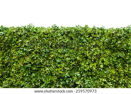 Horizontal shot of green hedge with fetus isolated on white background - stock photo