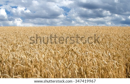Horizontal shot of landscape consisting of wheat field and cloudy sky. - stock photo