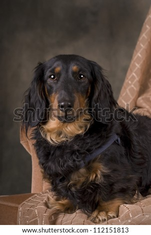 Horizontal studio shot of a Weimaraner dog on a 255 white background with copy space. - stock photo