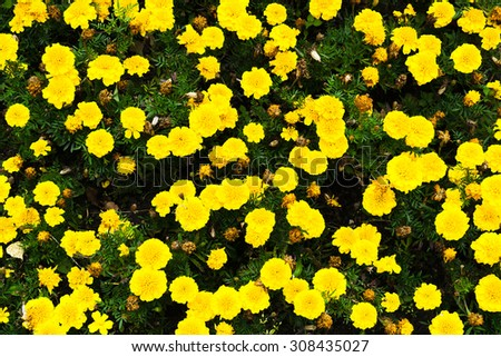 Horizontal vivid yellow flowers view from above background - stock photo