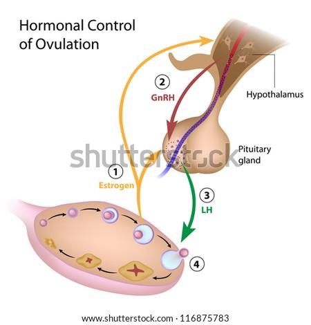 Hormonal control of ovulation - stock photo