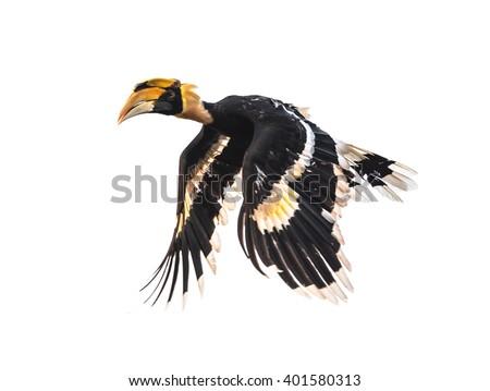 Hornbill (Buceros bicornis) flying isolated on white background - stock photo