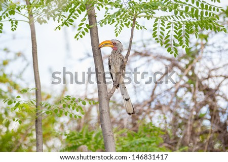 Hornbill in a tropical paradise A yellow-billed hornbill sitting in a tropical tree paradise - stock photo