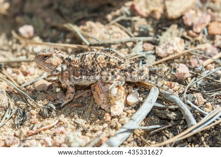 Horned lizard also known as horny toad or frog in natural habitat - stock photo