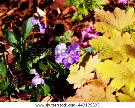 Horned pansy (Viola cornuta 'Rebecca') and Heucherella 'Sunrise Falls' - stock photo