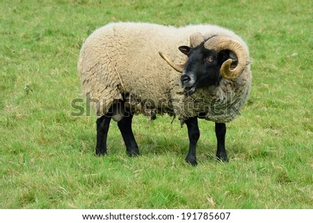 horned ram standing field - stock photo