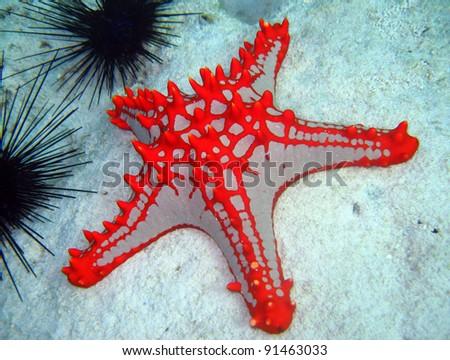 Horned Sea Star, Nungwi, Zanzibar, Tanzania - stock photo