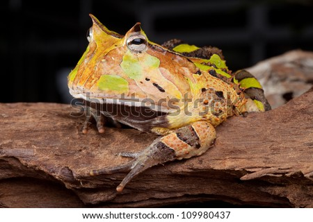 horned toad Ceratophys cornuta, Amazon rainforest amphibian nocturnal animal with brown color big mouth frog - stock photo