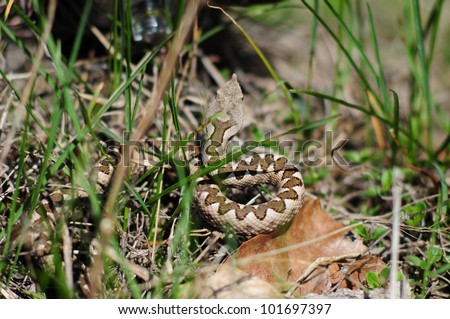 horned viper (vipera ammodytes) - stock photo