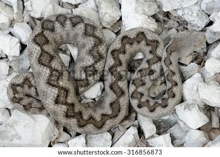 Horned viper (Vipera ammodytes) female new molt pattern  - stock photo