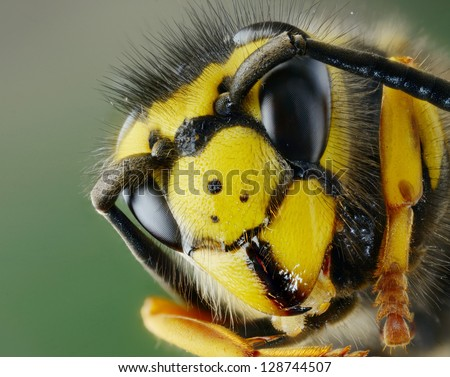 hornet head - stock photo