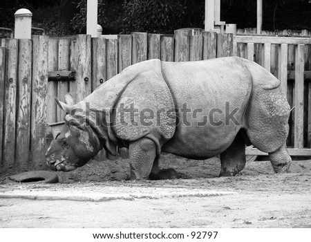 Hornless rhinoceros at the San Francisco Zoo sideview black and white - stock photo