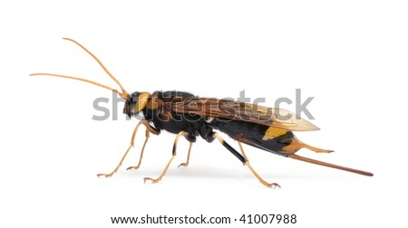 Horntail or wood wasp, Urocerus gigas, in front of white background, studio shot - stock photo