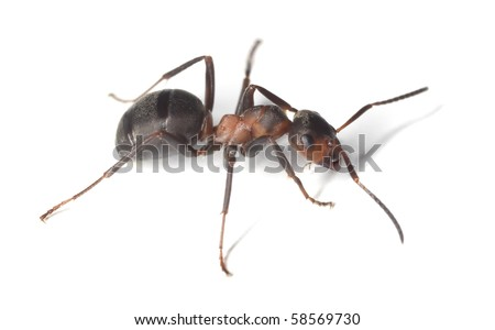 Horse ant isolated on white background. Extreme close-up with extra high magnification. - stock photo