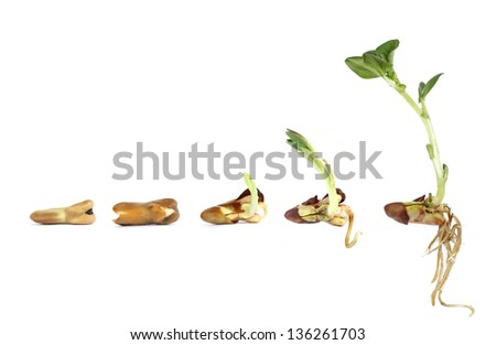 Horse bean - sprouting and growing - stock photo