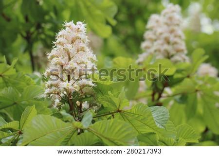 horse chestnut - stock photo