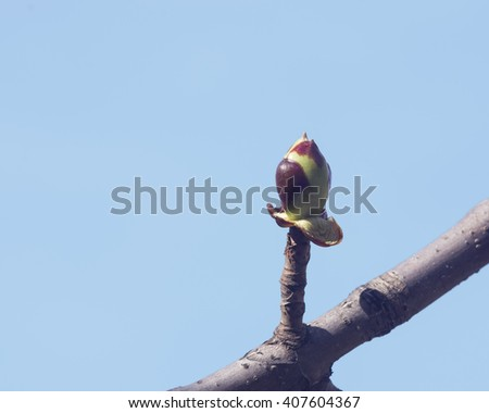 Horse-chestnut, aesculus hippocastanum, bud on branch with blue background macro, selective focus, shallow DOF - stock photo