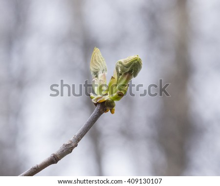 Horse-chestnut, aesculus hippocastanum, buds on branch with bokeh background macro, selective focus, shallow DOF - stock photo