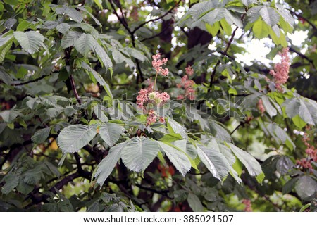 horse chestnut on tree - stock photo