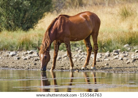 Horse drink in a waterhole - stock photo