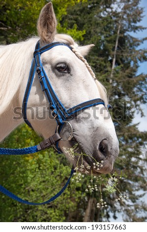 Horse enjoying some cow parsley from the roadside - stock photo
