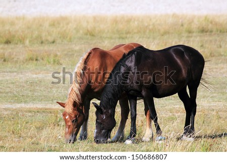 Horse feeding on a meadow - stock photo