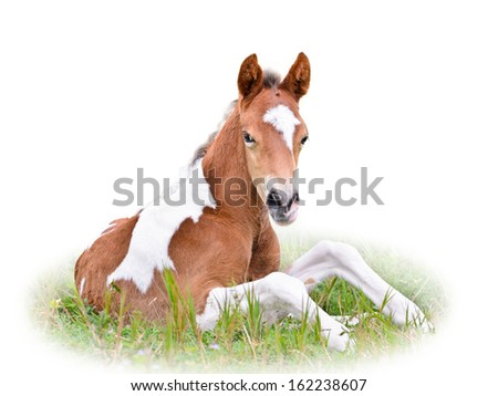 Horse foal are brown resting in grass on white background  - stock photo