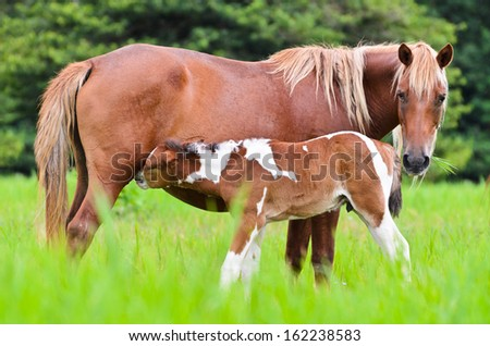Horse foal suckling from mare in the pasture of Thailand  - stock photo