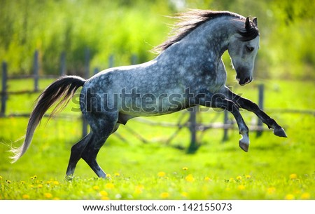 Horse gallops in springtime on field. - stock photo