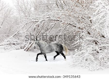 Horse gelding running in new fallen snow - stock photo