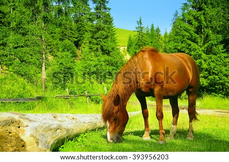 Horse grazing in the fir forest in the mountains. Summer sunny hot day. Green grass.  - stock photo