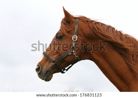 Horse head portrait. Beautiful horse headshot - stock photo
