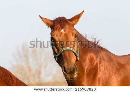 Horse Healthy Animal Horse chestnut animal closeup  detail outdoors - stock photo
