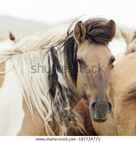 Horse herd on the pasture, Mongolia - stock photo