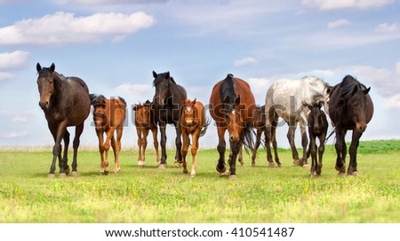 Horse herd with mare and foals walk on pasture - stock photo