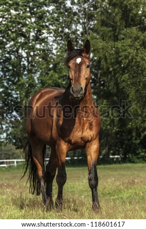 horse in a field, farm animals series - stock photo