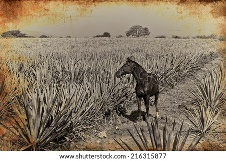 Horse in Agave tequila vintage landscape to Guadalajara, Jalisco, Mexico. - stock photo