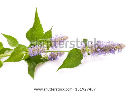 Horse Mint flowers isolated on white - stock photo