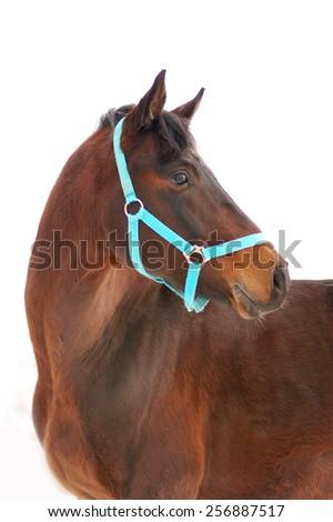 horse portrait isolated on white background - stock photo