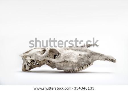 horse skull - stock photo