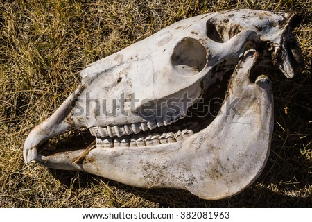 Horse skull in the dry grass - stock photo