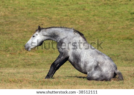 horse trying to get up - stock photo
